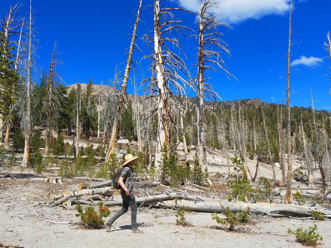 mammoth lakes mountain california dead trees